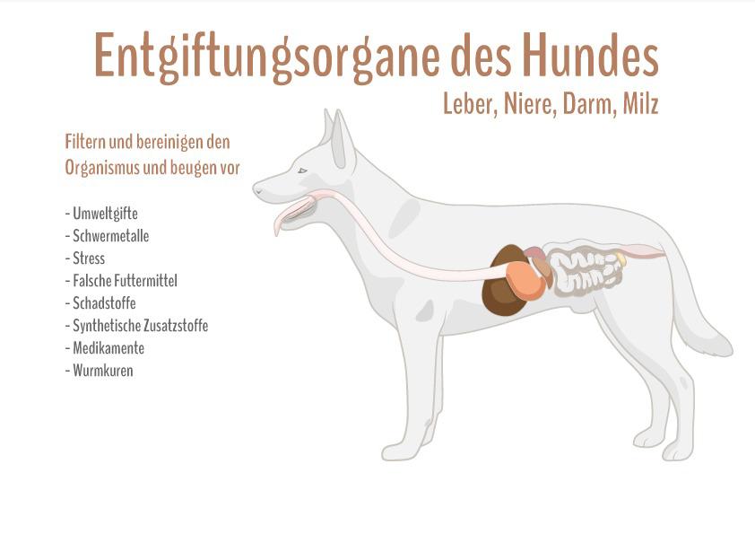 Gemütlich Anatomie Der Leber Hund Fotos - Menschliche Anatomie ...