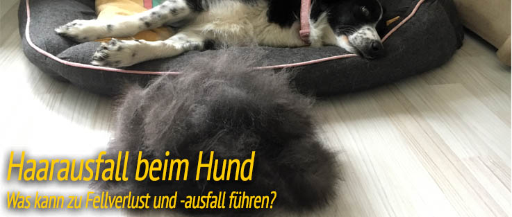 Haarausfall beim Hund