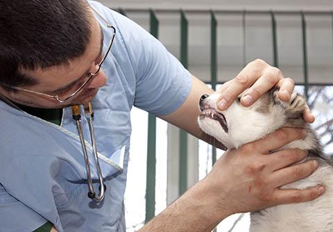 Zahnstein bei Hunden und Welpen