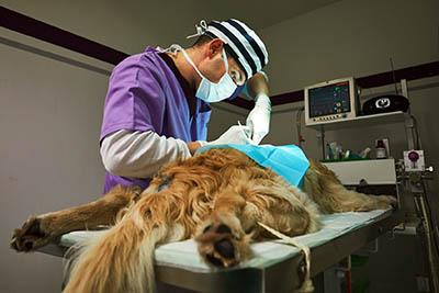 Tierarzt operiert Hund mit Krebs