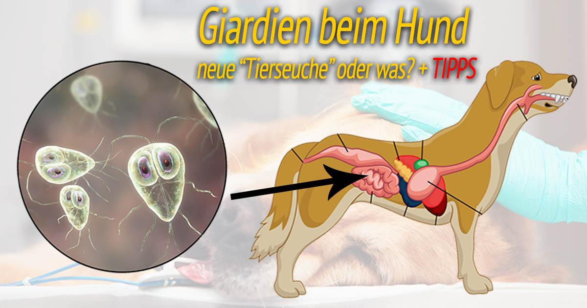 giardia infektion hund