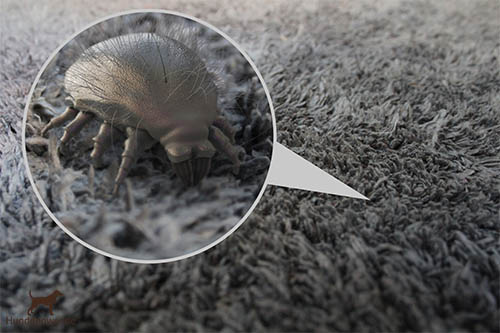 Hausstaubmilben können Allergien beim Hund auslösen