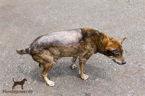 Räudemilben beim Hund