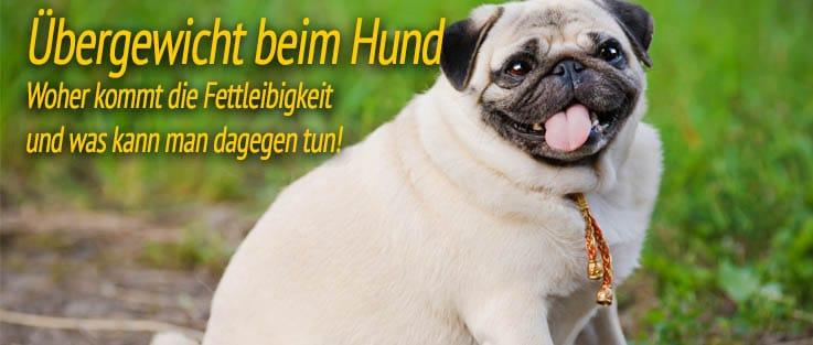 Übergewicht beim Hund - Woher kommt die Fettleibigkeit und was kann man dagegen tun!