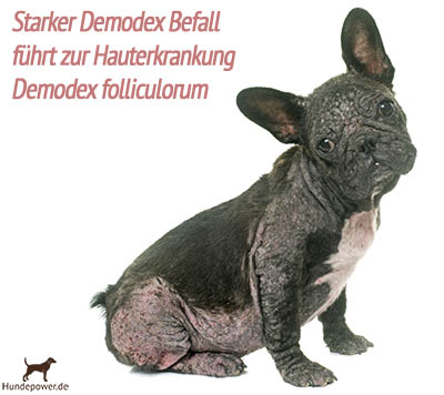 Hund mit Demodex Milben und Hauterkrankung Demodex folliculorum