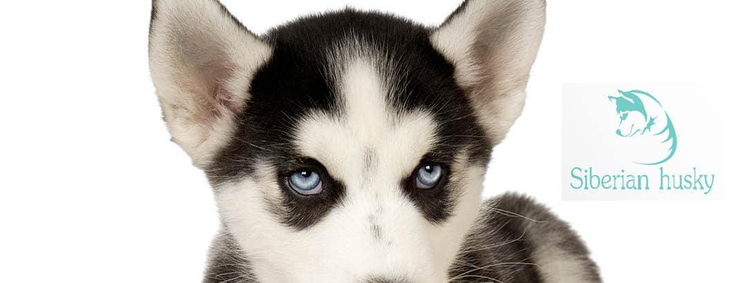 Siberian Husky Rassebeschreibung Wesen Haltung Pflege Und Mehr