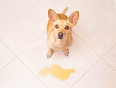 Inkontinenz bei alten Hunden