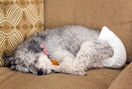 Inkontinenter Hund mit Windel