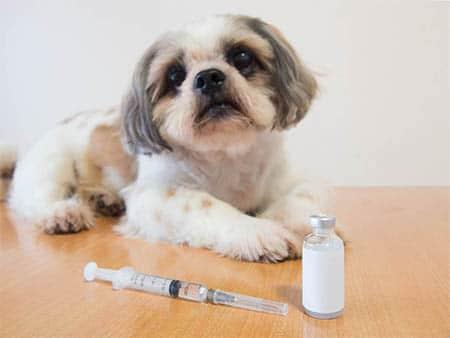 Hund mit Diabetes mellitus (Zuckerkrankheit)