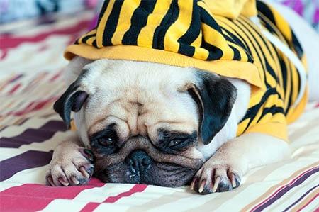 Hund mit Erkältung und Husten