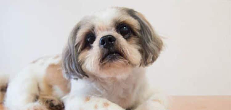Schilddrüsenunterfunktion bei Hunden - Das müssen Sie wissen
