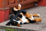 Appenzeller-Sennenhund-Welpe
