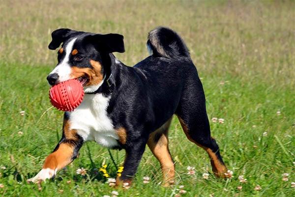 Appenzeller Welpe bei spielen mit Ball