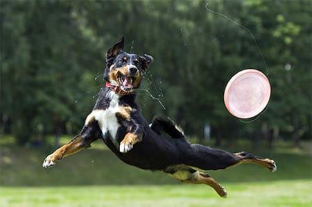 Appenzeller mit Frisbee