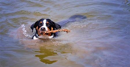 Appenzeller Sennenhund schwimmt mit Stock