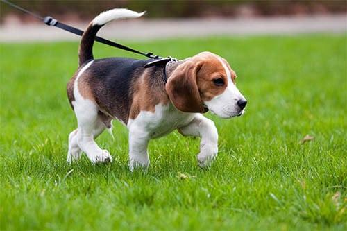 Beagle Welpen und Züchter