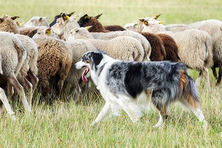 Border Collie merle beim Schafe hüten