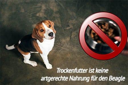 Welches Futter für Beagle?
