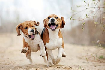 Zwei Beagle beim Spielen