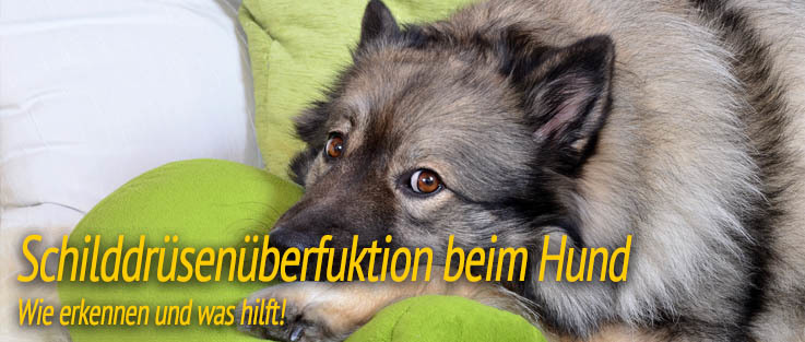 Schilddrüsenüberfunktion beim Hund