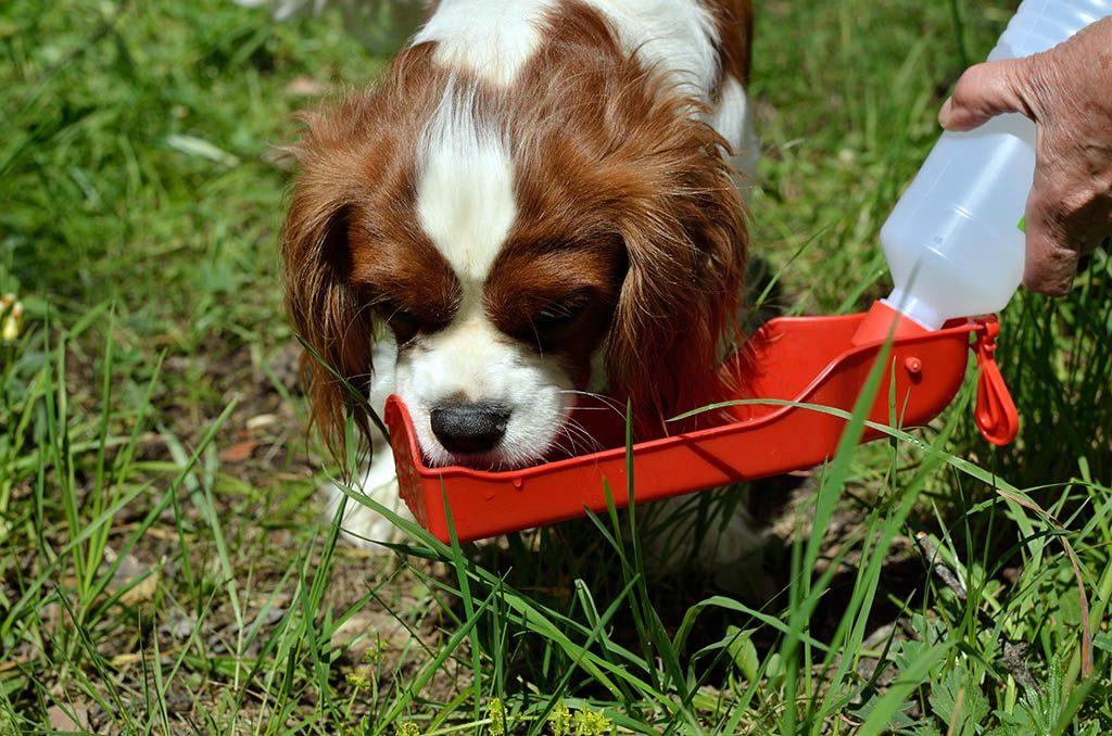 Hund trinkt bei Futterumstellung